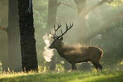 © Licensed to London News Pictures. 26/09/2015. City, UK. A stag at sunrise on a misty cold Autumn Morning in Richmond Park, London. Photo credit : Ian Schofield/LNP