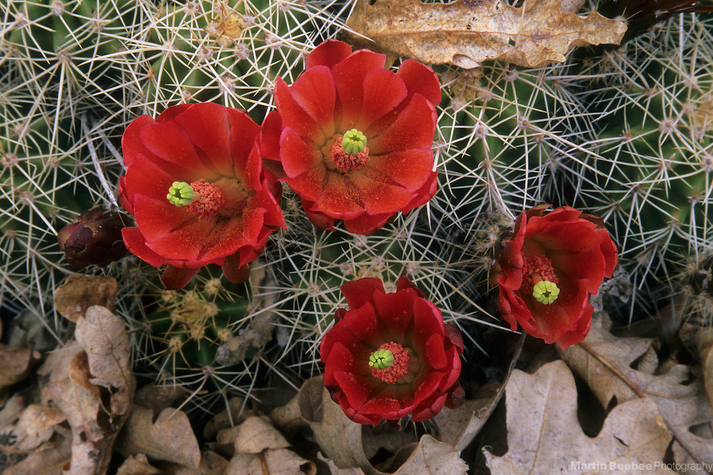 Claret cup cactus (Echinocereus triglochidiatus) and oak leaves, Prescott National Forest, Arizona