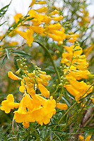 Yellow Bells or Yellow Trumphet (Tecoma stans), Big Bend National Park, Texas