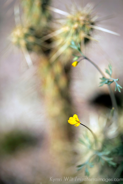 USA, California, San Diego County. Desert flora of Anza-Borrego Desert State Park.