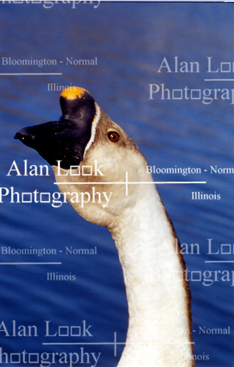 swan, scan of transparancy (Photo by Alan Look)
