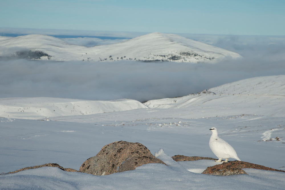 Ptarmigan (Lagopus mutus) winter plumage male in snow-covered mountain habitat, Cairngorms NP, Scotland