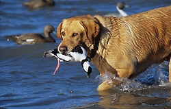 Stock photo of a hunting dog retrieving a duck from the lake