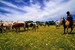 Group of cowboys leading longhorn cattle through a field of Texas wildflowers