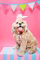 Cocker Spaniel wearing a cotton candy hat sitting on a pink and blue striped bench against. pink seamless. Photographed at Photoville Photo Booth September 20, 2015