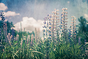 Lupines in a field in Maine with a blue sky and puffy white clouds