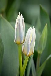 Tulipa 'Ice Stick'