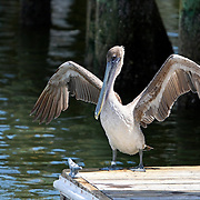 An immature Brown Pelican spreading its wings on a dock