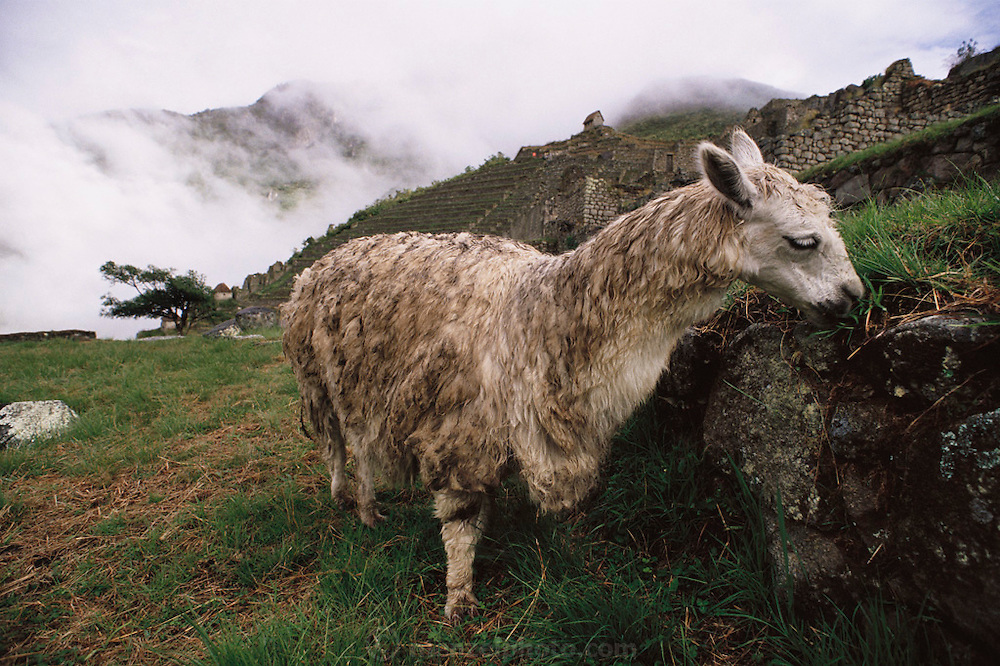 Llama grazing on grass amid the Inca ruins at Machu Picchu, Peru.