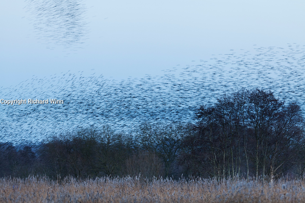 Slightly slower shutterspeed of starlings coming in to roost in the reedbeds of Ham Wall RSPB nature reserve in the Avalon Marshes area of Somerset.