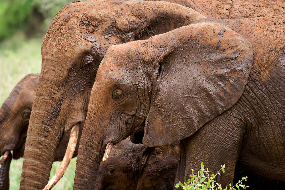 (Loxodonta africana) Elephants in the Tarangire National Park have red stained skin due to rolling in the ochre-colored clay muds of the area. Tarangire National Park, Tanzania