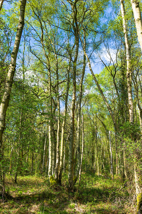 Woodland scene of silver birch trees, Betula pendula forming canopy at Bruern Wood in The Cotswolds, Oxfordshire, UK