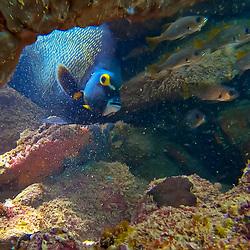 Peixes de Recife (Registro) fotografado em três Ilhas, no município de Guarapari, no Espírito Santo -  Sudeste do Brasil. Oceano Atlântico. Registro feito em 2020.<br /> ⠀<br /> ⠀<br /> <br /> <br /> <br /> <br /> ENGLISH: Reef Fishes photographed in Três Ilhas, Guarapari, in Espírito Santo - Southeast of Brazil. Atlantic Ocean. Picture made in 2020.