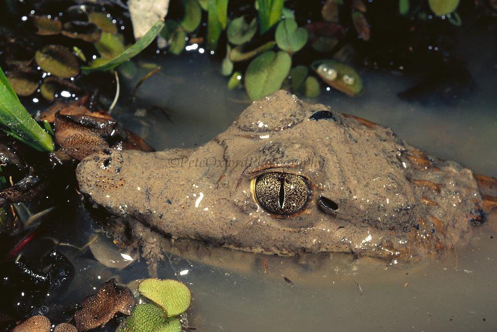 Baby Spectacled Caiman<br />Caiman crocodylus<br />Cerrado Habitat.  BRAZIL.  South America