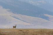 Whitetail Buck in a Western Montana backdrop, Montana
