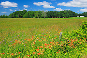 Wood lilies in farmland<br /> St. Armand<br /> Quebec<br /> Canada