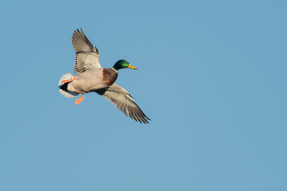 Mallard (Anas platyrhynchos) in flight, North Texas
