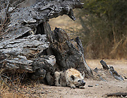 Two hyena pups rest at the den while the adults are looking for dinner.