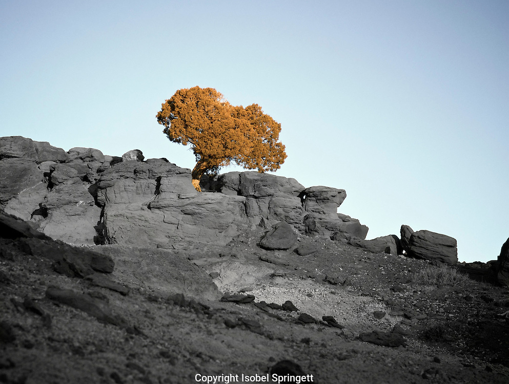 Duotone Bristlecone Pine, Pinus aristata. Sandwash Basin,  Colorado, USA, (Photo: Isobel Springett)