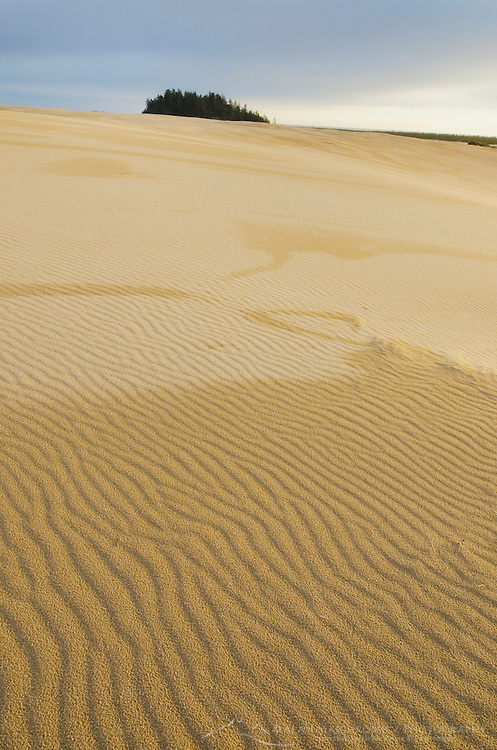 Sand dunes glowing golden in evening light, Oregon Dunes National Recreation Area