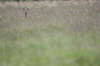 Roe deer (Capreolus capreolus) doe in meadow,  Nemunas regional reserve, Lithuania. Mission: Lithuania, June 2009