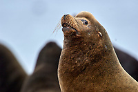 California Sea Lion (Zalophus californianus), Fanny Bay , British Columbia, Canada   Photo: Peter Llewellyn