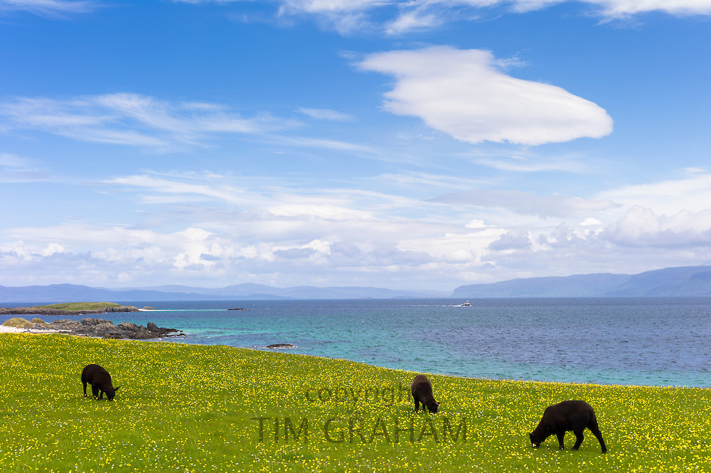 Flock of dark brown Soay sheep grazing in buttercup meadow on Isle of Iona in the Inner Hebrides and Western Isles, Scotland