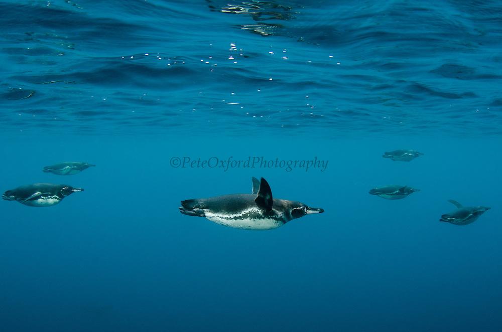 Galapagos Penguin (Spheniscus mendiculus) <br /> GALAPAGOS ISLANDS<br /> ECUADOR.  South America<br /> ENDEMIC TO GALAPAGOS ISLANDS