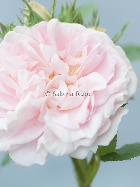 Rosa 'Felicite Parmentier' - Alba Rose (1834)