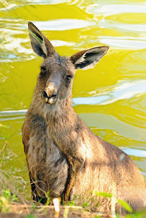 An Eastern Grey Kangaroo (Macropus giganteus) takes refuge and a moment to catch it's breath after being chased into a river and attacked by Dingos (Canis lupus dingo) in the remote Southern Greater Blue Mountains world heritage area.