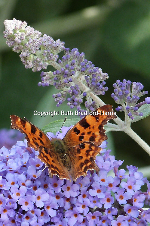 Comma butterfly, Polygonia c-album, enjoying the sweetly-perfumed violet flowers of Buddleia davidii 'Lochinch' in midsummer.<br />