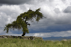 July 21, 2019 - Tree Behind Stone Fence, Northumberland, England (Credit Image: © John Short/Design Pics via ZUMA Wire)