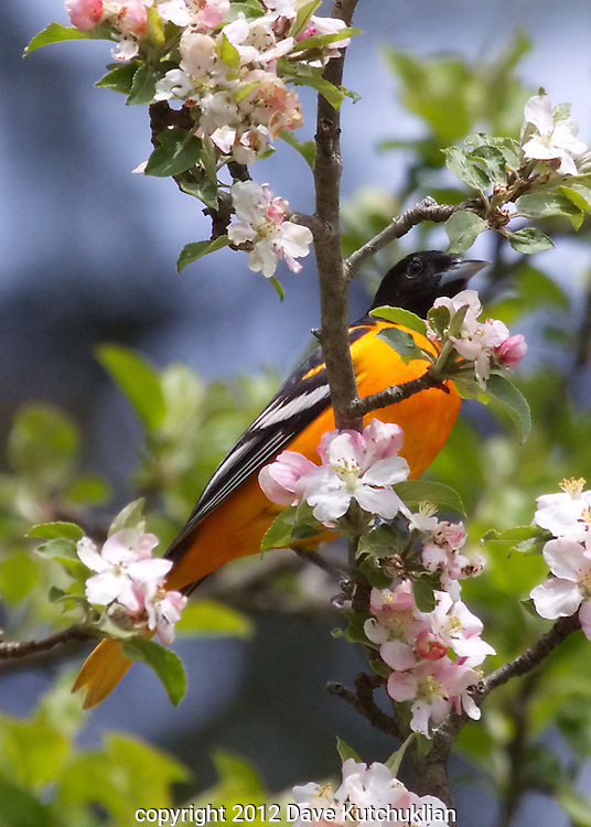 Baltimore Oriole in an apple tree, E. Dorset, VT