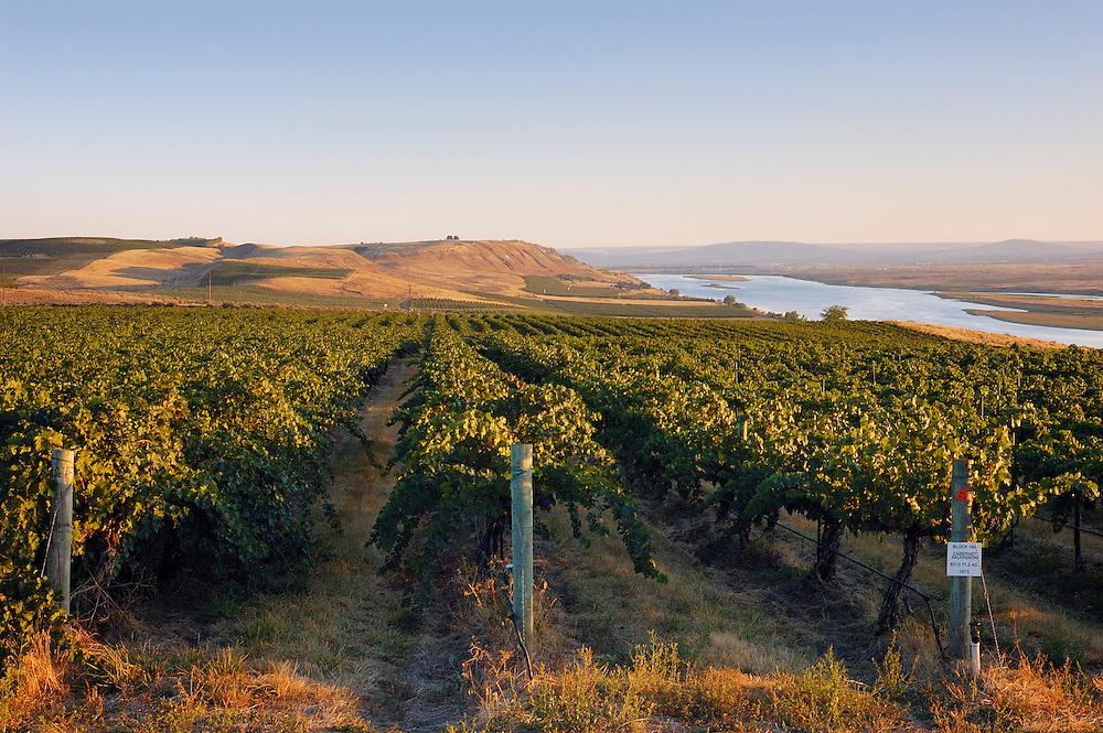Rows of wine grapes at Sagemoor Vineyards along Columbia River; Columbia Valley, Washington.