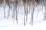 Mountain Birches, Betula pubescens subsp. ssp. czerepanovii, Varanger, Norway