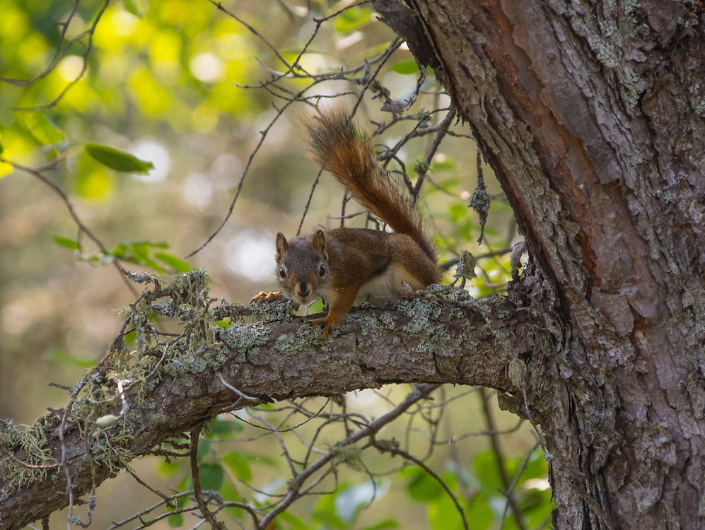 A red tree squirrel, that played a game of hide and seek with us at Iroquois Point Lighthouse park.