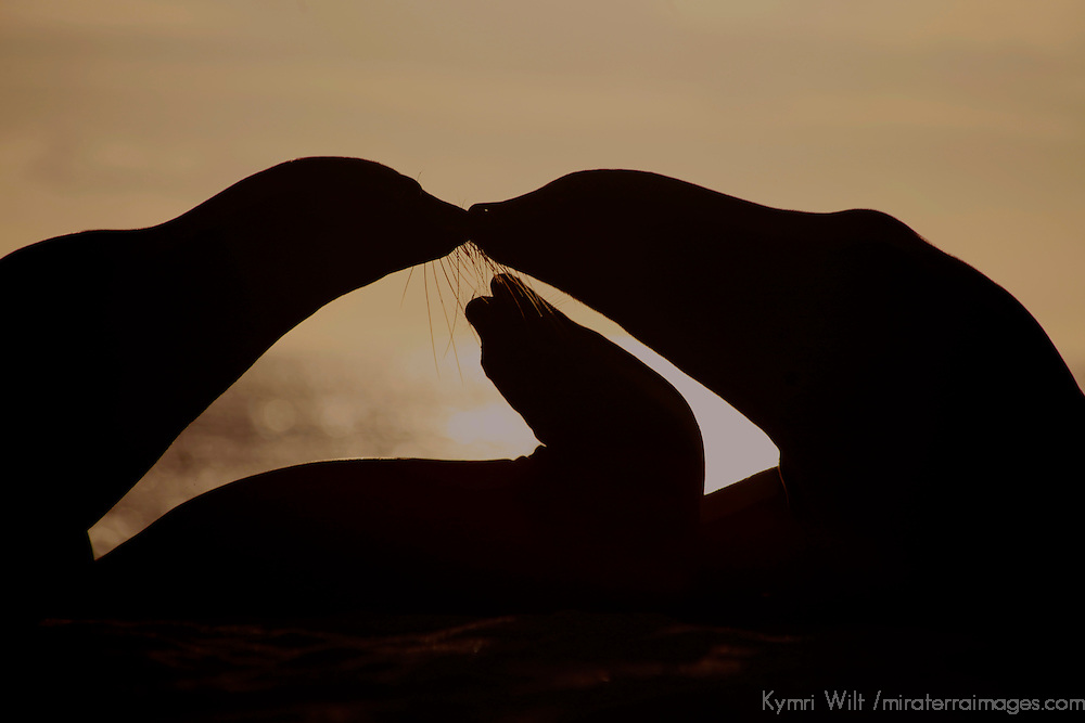 South America, Ecuador, Galapagos Islands. Galapagos Sea Lion family silhouetted against setting sun.