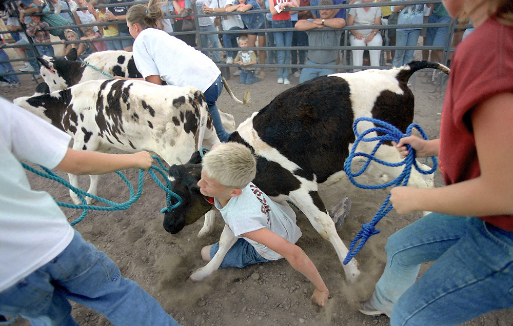 Kids compete for dairy calves during the county fair catch-it contest