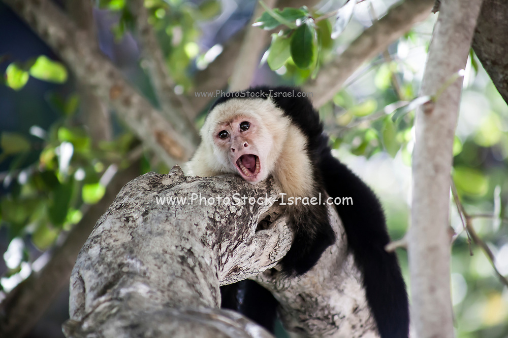 Aggressive Capuchin Monkey on a tree