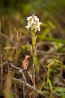 Lawn orchid photographed on the edge of Loop Road, deep in the Big Cypress National Preserve.