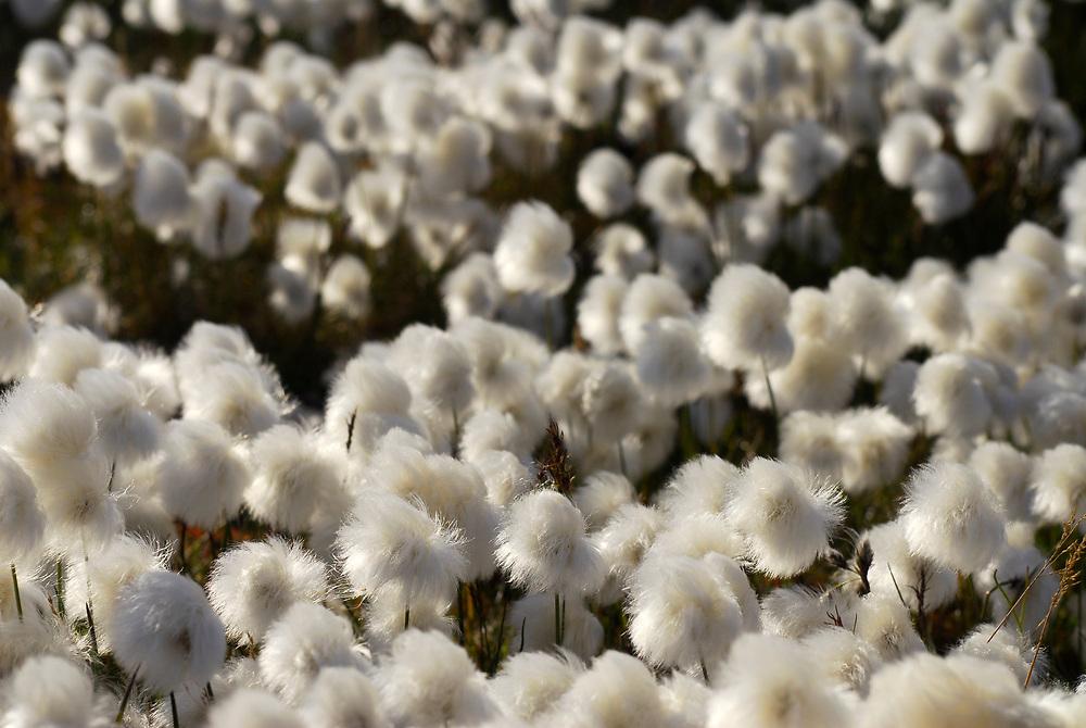 Alaska, Barrow. Cottongrass.