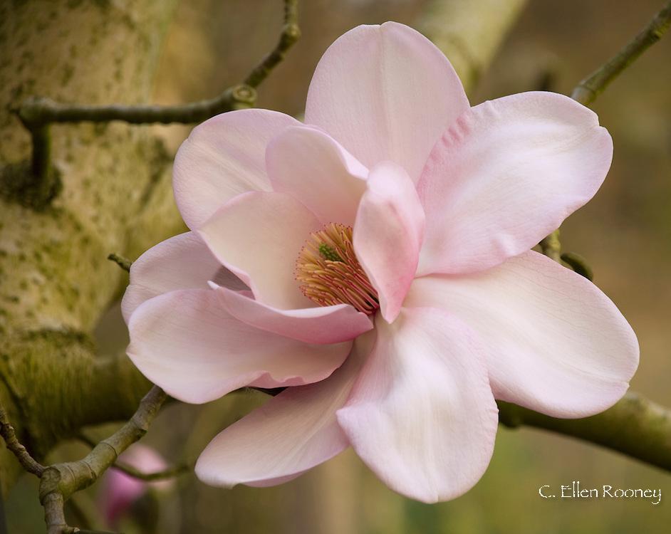 Magnolia campbellii mollicomata 'Lanarth' x veitchii 'Mark Jury' in The Valley<br /> Gardens, Surrey, UK