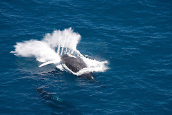 A humpback whale creates a huge splash as it breaches backwards on the Kimberley coast.  Western Australia has the world's largest population of Humpback whales, estimated at approximately 22,000 individuals.