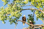 Bald Eagles, nesting pair, (Haliaeetus leucocephalus), Yellowstone River, east of Fairview Montana, near its confluence with the Missouri