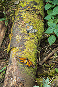 Dead monarch butterflies scattered across the forest floor at an over-winter site in the Cerro Pelon Monarch Butterfly Preserve near Macheros, Michoacan, Mexico. The monarch butterfly migration is a phenomenon across North America, where the butterflies migrates each autumn to overwintering sites in Central Mexico.
