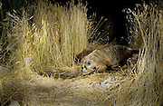 A badger (Taxidea taxus) makes a nocturnal visit to an artificial guzzler in the desert of southern Oregon.