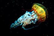 UNDERWATER MARINE LIFE EAST PACIFIC, off coast of Northwestern North America Jellyfish Cyanea capillata