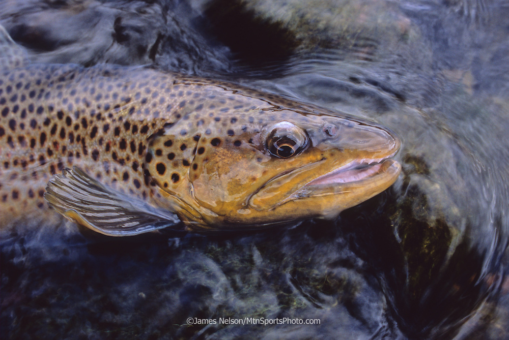 0878-D. Brown trout; South Fork of the Snake River, Idaho.