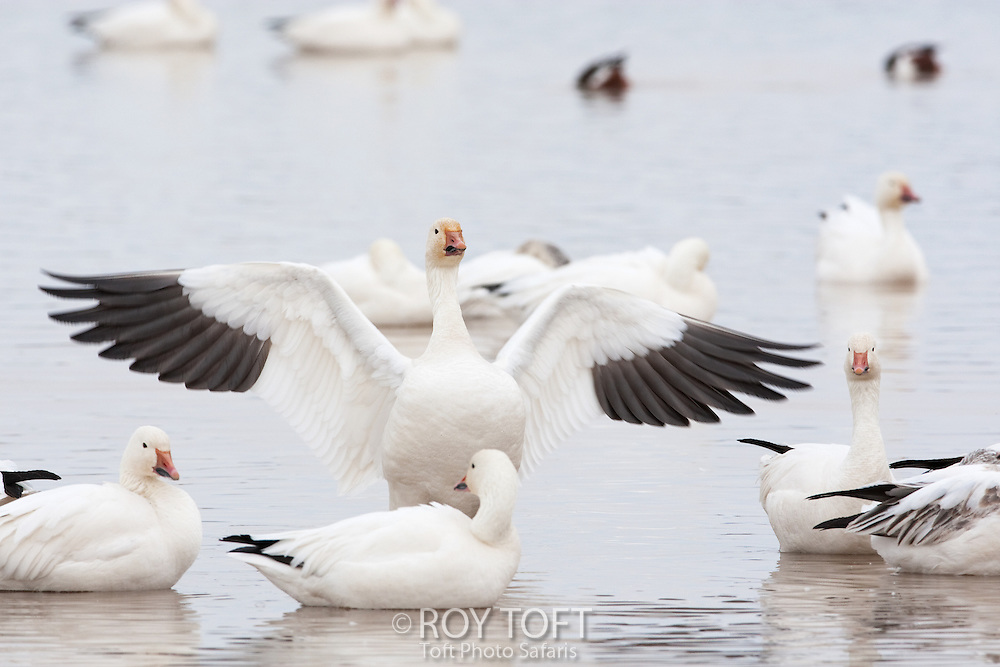 Snow Goose (Anser caerulescens) adult landing in the water, Bosque del Apache National Wildlife Refuge, New Mexico