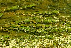 Doorgroeid fonteinkruid, Potamogeton perfoliatus